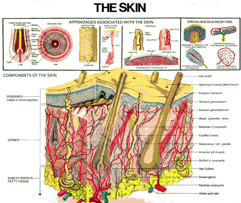 photo of skin cross section showing the skin appendages and sensory receptors.