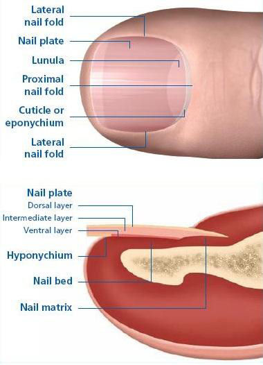 Photo showing the anatomy of the inside of a toe